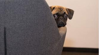 研究发现狗具有自我意识可能了解其行为的后果