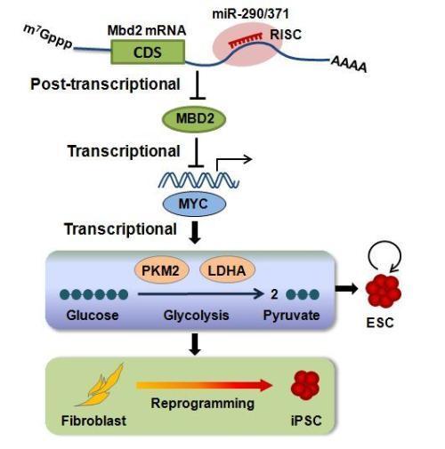 这是首个应用于葫芦科作物研究miRNA功能的病毒载体