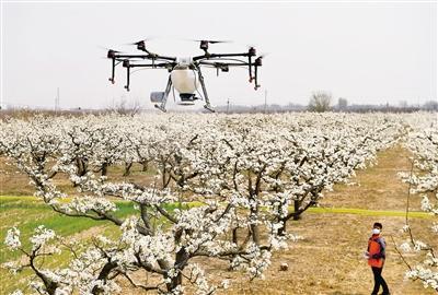 花期如何高效高质量的为梨树授粉显得尤为关键