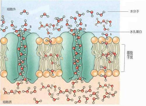 我们实际上能够看到蛋白质通道一系列功能阶段的整个周期