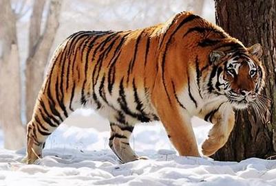 研究通过自动相机记录的影像数据共识别出野生东北虎55只
