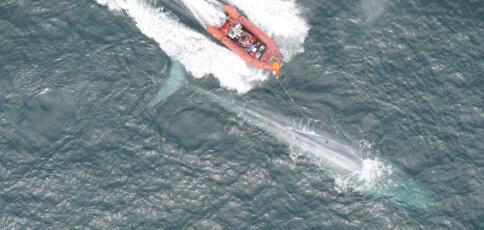 斯坦福大学的研究人员记录了蓝鲸的心率